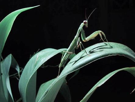 20060617230918-mantis.jpg